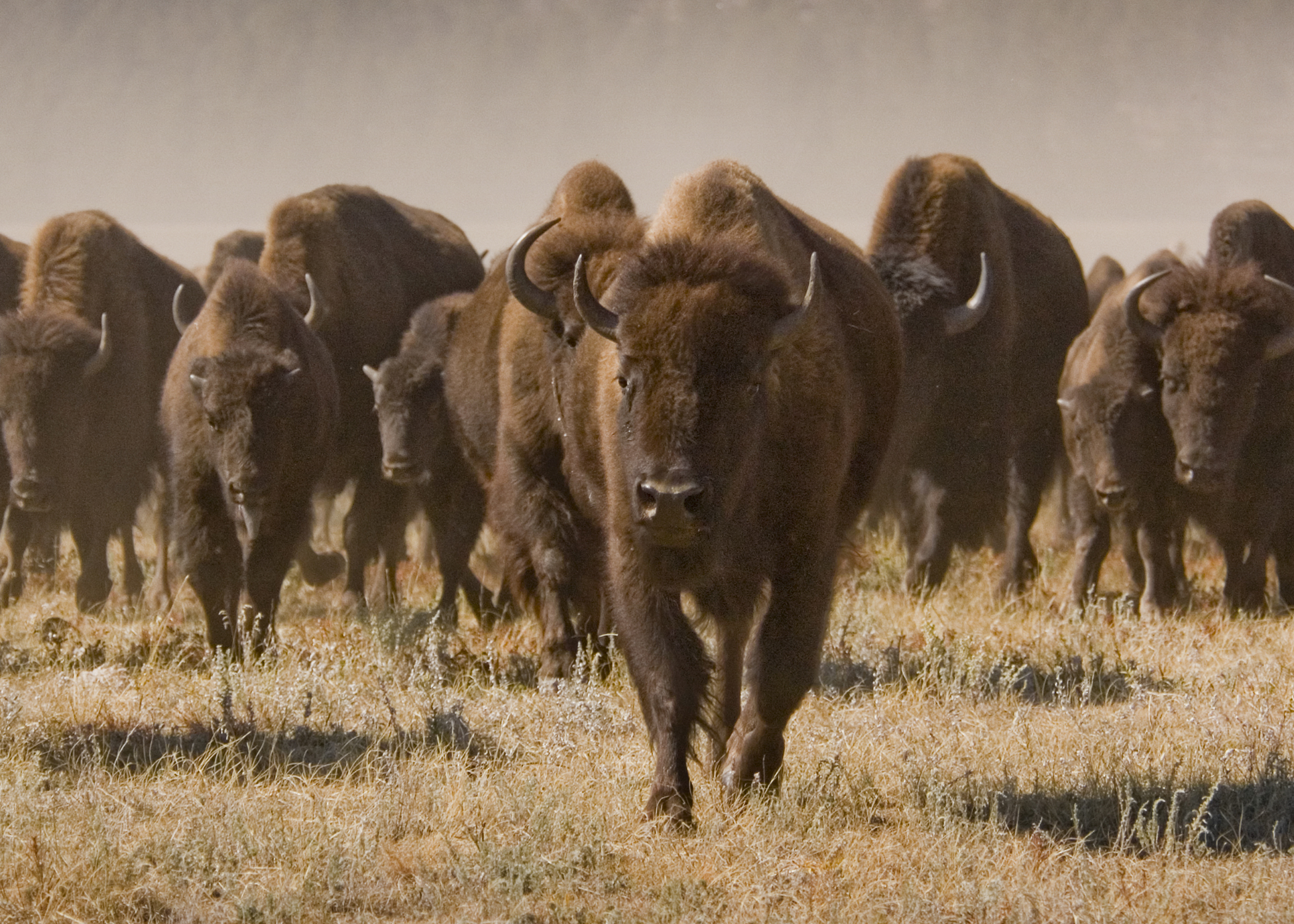 Roaming Buffalo in Custer State Park