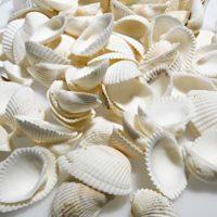 "One Pound Box Natural Clamrose Seashells (1/2"" - 1 1/4"") Approx. 300 shells"